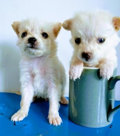Pocket Pomeranian Puppies