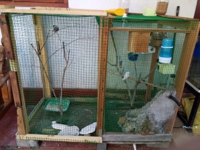 African Love Birds with Cage