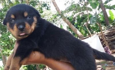 Rottweiler Crossing Puppies