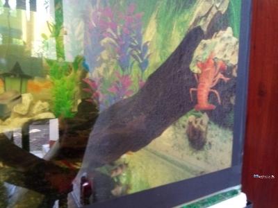 Calf Fish with Large Tank