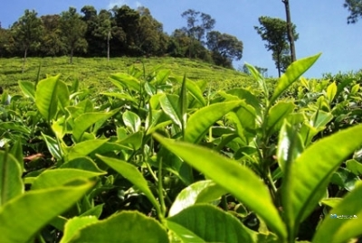 Tea State for Sale in Balangoda