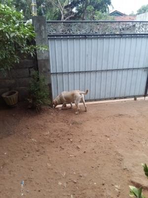 Labrador Female Dog