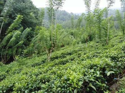 Tea Land for Sale in Ratnapura
