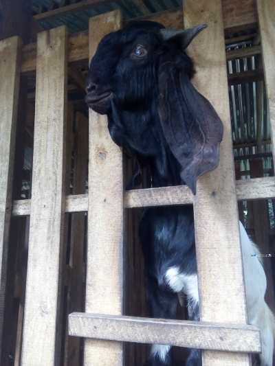 Yamuna Goat