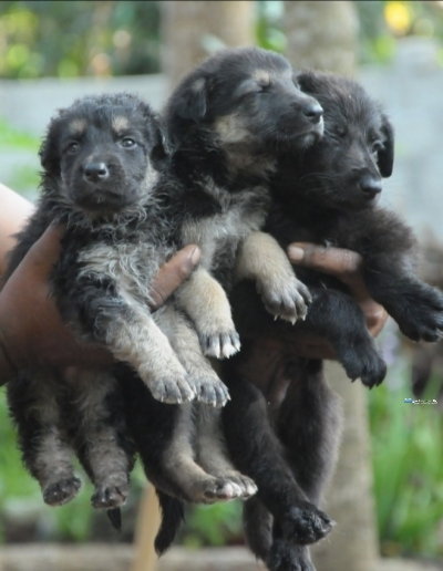 German Shepherd(Double Court) Puppies