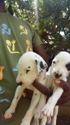 Dalmatian Puppies - ඩැල්මේෂන් බලු පැටව්