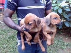 Doberman Cross Puppies