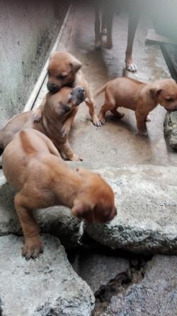 Redback Puppies