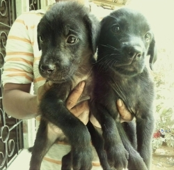 Laborodor Puppies