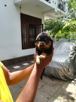 Rottweiler Male Puppies