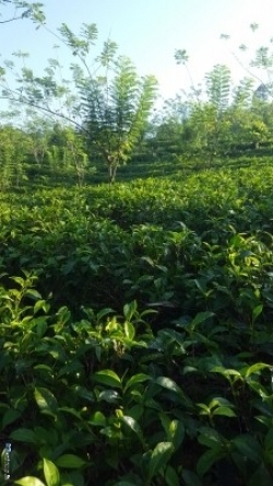 Tea Land for Sale in Kalutara
