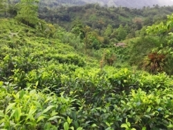 Tea Land for Sale in Kalawana