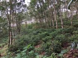 Rubber and Tea Land for Sale In Eheliyagoda