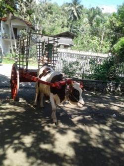Cart (ගොන් කරත්තය) with Cow