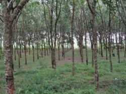 Rubber Land for Sale in Pitigala(Galle)