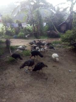 Turkey Chicks(Kalukun)