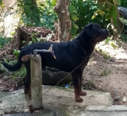Imprted Rottweller Dog for Crossing(Stud) KASL/CKC