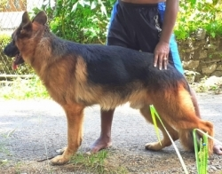 Show Winner German Shepperd Male Dog for Crossing /Stud