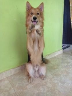 German Shepherd Dog For Stud or Crossing