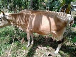ජර්සි කිරි එළදෙනුන්(Cow)