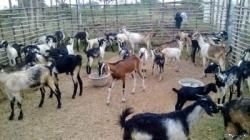 Goats(එළුවන්)