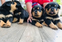 Rottweiler Puppies(imported)