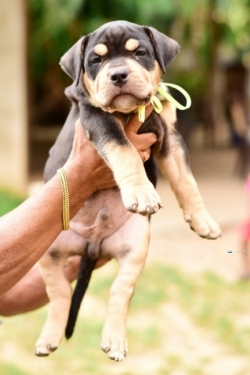 American Bully Puppies