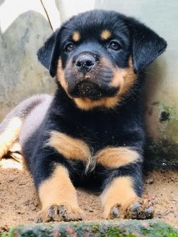 Important Serbian Bloodline Rottweiler Puppies