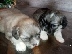 Shih Tzu Puppies