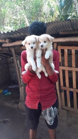 Lion Pomanerian Puppies