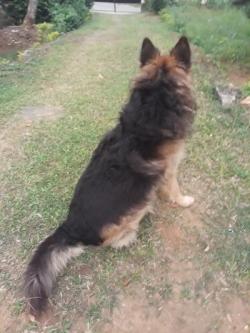 Original Lion Shepherd Dog for Crossing