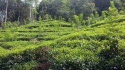 Tea Land for Sale in Thawalama