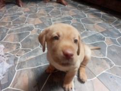 Labrador Puppies(Big Head)