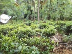 Cultivated Tea Land for Sale in Aranayake(Mawanella)
