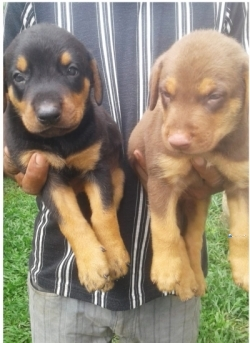 Doguman Puppies